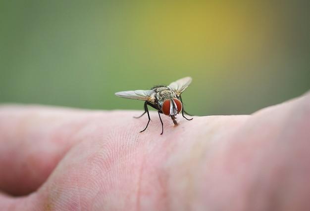 Mouche domestique sur la main de la peau humaine Photo Premium
