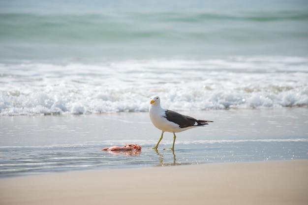 Mouette mangeant du poisson sur la plage de jurerê internacional florianópolis Photo Premium