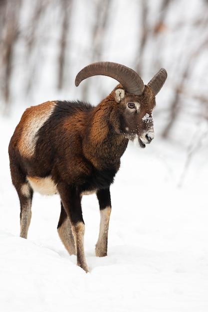 Mouflon Mâle Marchant Et Mâchant Dans La Forêt D'hiver Recouvert De Neige. Photo Premium