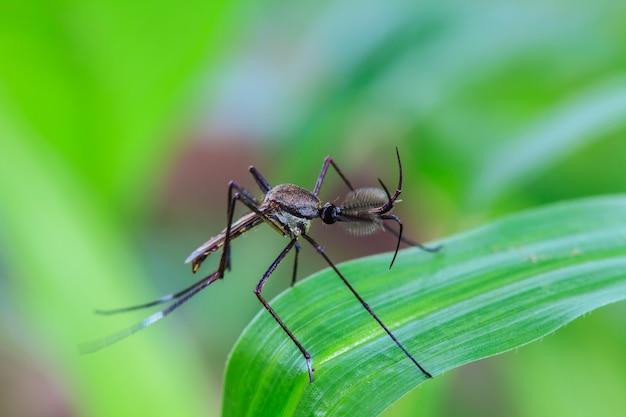 Moustique sur feuille verte Photo Premium