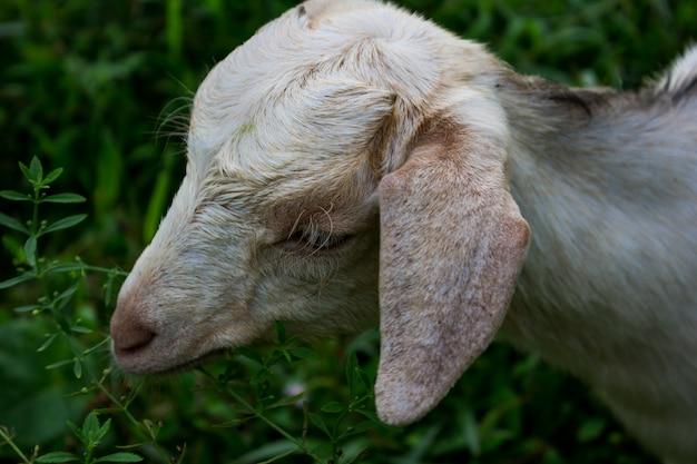 Mouton au gazon vert Photo gratuit