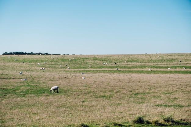 Mouton dans le champ d'herbe Photo gratuit