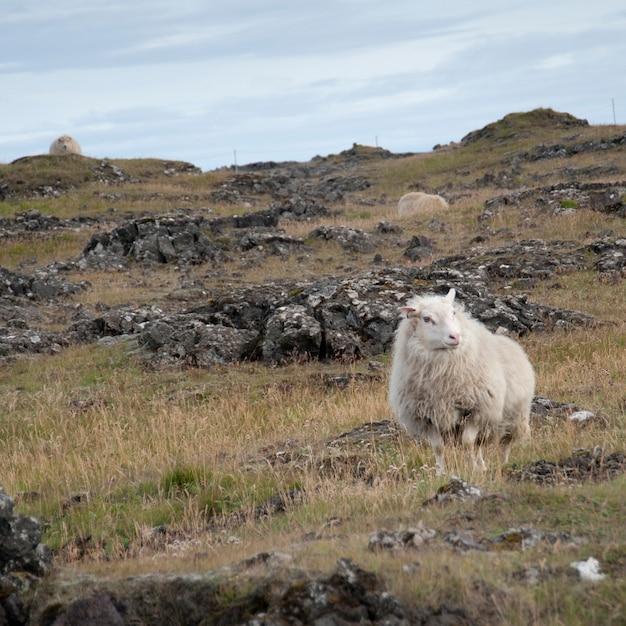Mouton laineux sur un terrain rocheux Photo Premium