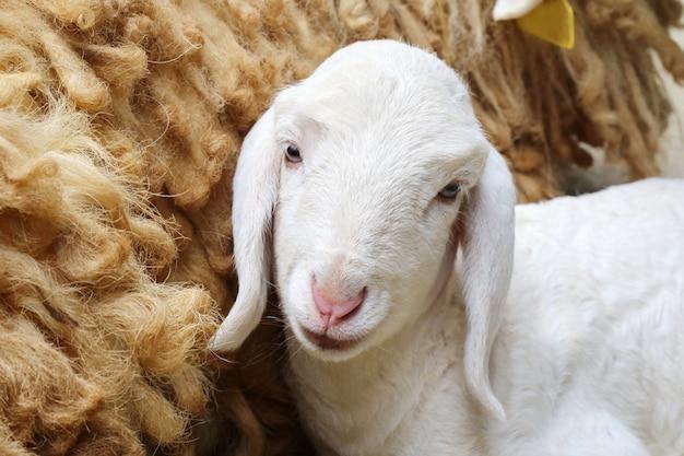 Mouton nouveau né Photo Premium