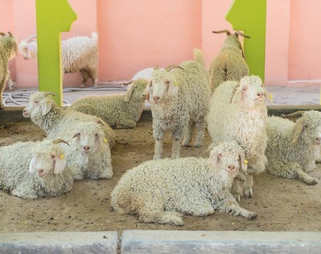 Mouton Photo gratuit