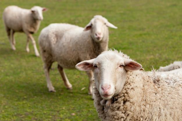 Moutons broutant dans le pré avec de l'herbe verte Photo Premium