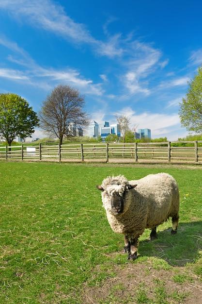 Moutons dans une ferme locale avec l'horizon de canary wharf Photo Premium