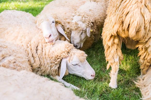 Moutons sur l'herbe verte Photo gratuit