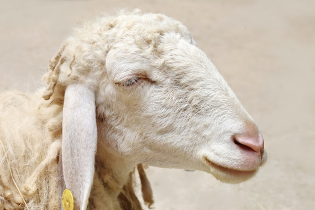 Moutons à la recherche Photo Premium