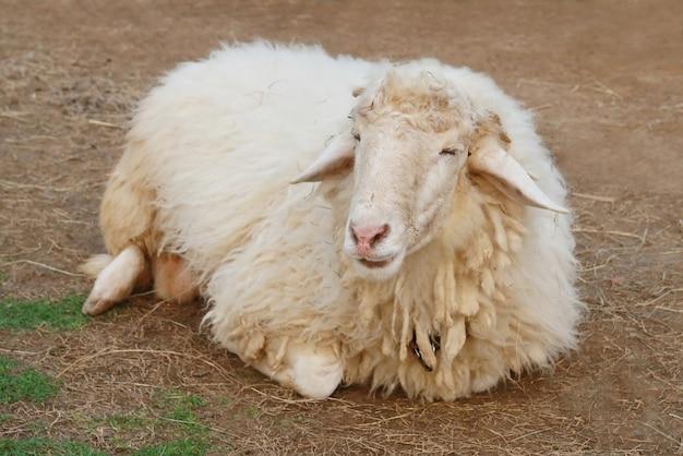 Moutons sur le sol Photo Premium