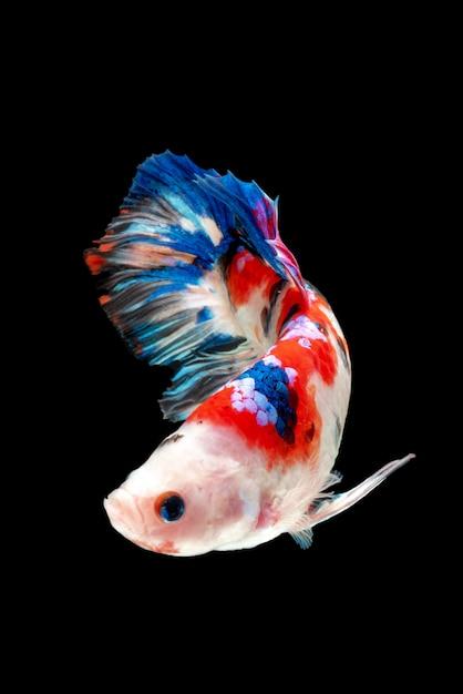 Mouvement de poissons betta, poissons de combat siamois Photo Premium