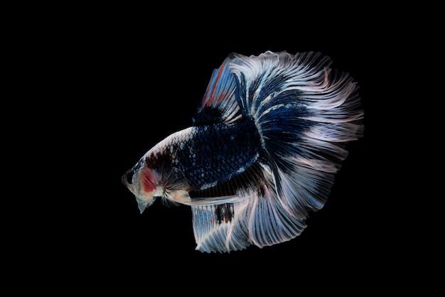 Mouvement des poissons de combat siamois isolé sur fond noir Photo Premium