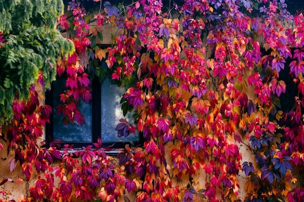 Mur de maison confortable fabuleux recouvert de lierre coloré Photo Premium