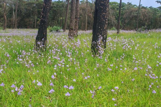 Murdannia Giganteum, Fleur Pourpre Thaï Et Forêt De Pin Photo Premium