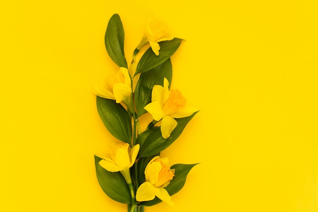 Narcisse frais isolé sur fond jaune Photo Premium