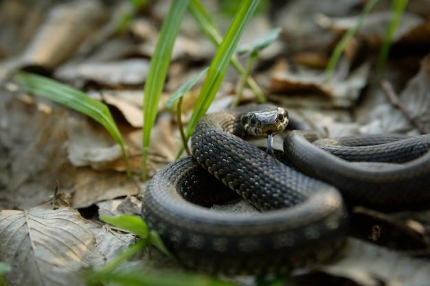 Natrix, Serpent, Colubridae Dans La Forêt, Se Bouchent. Photo Premium