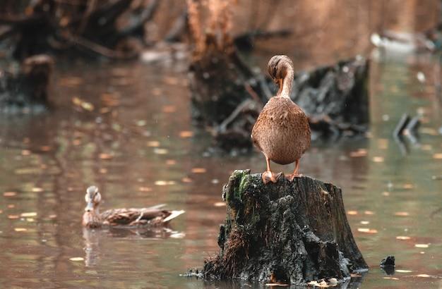Nettoyage d'automne. beau canard nettoie ses plumes debout sur une souche, contre le lac en automne Photo Premium