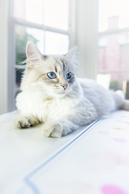 Neva masquerade cat, variété du chat sibérien Photo Premium