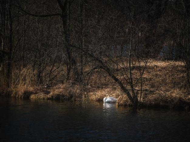 Nidification De Cygnes Sur Le Lac Photo Premium