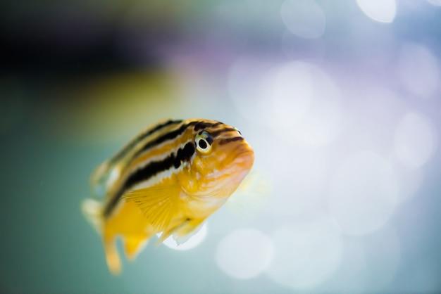 Nimbochromis livingstonii poisson de couleur jaune avec une bande noire flotte dans l'aquarium. Photo Premium