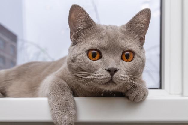 Noble chat fier couché sur le rebord de la fenêtre. Photo Premium