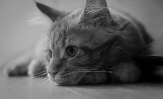 Noir et blanc, gros plan, de, maine, coon, chaton Photo Premium
