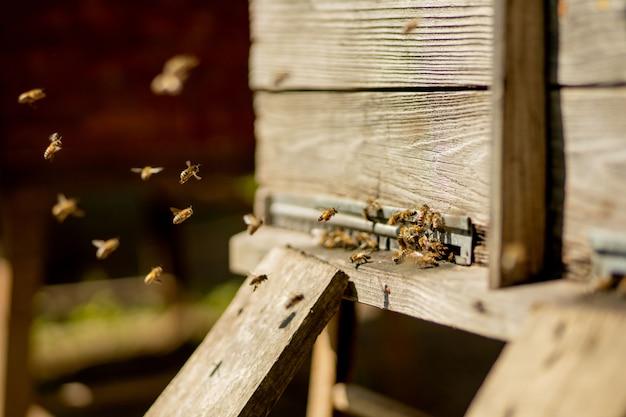 De Nombreuses Abeilles Retournent à La Ruche Et Entrent Dans La Ruche Avec Du Nectar Floral Et Du Pollen De Fleurs Collectés. Essaim D'abeilles Récoltant Le Nectar Des Fleurs. Miel De Ferme Biologique Sain. Photo Premium