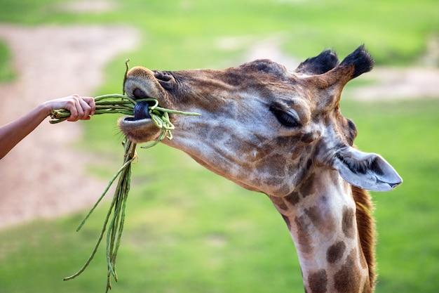 Nourrir une girafe au zoo. Photo Premium