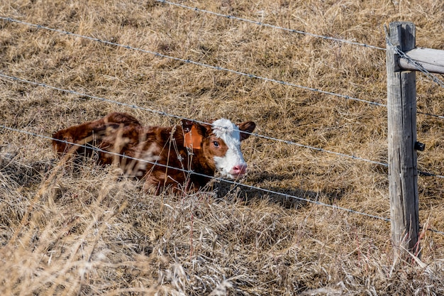 Un Nouveau-né Veau Couché Dans L'herbe En Saskatchewan, Canada Photo Premium