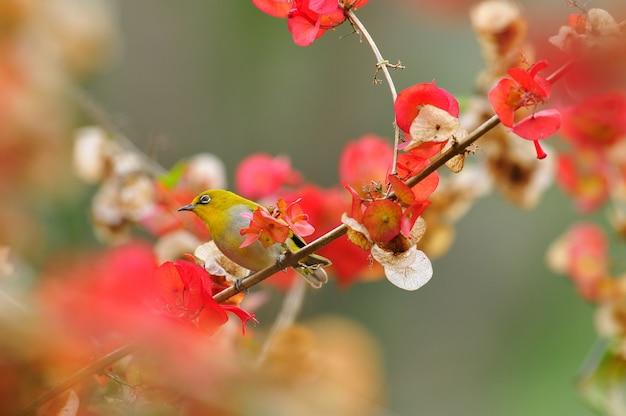 Oeil blanc oriental, bel oiseau jaune sur fond de fleurs rouges. Photo Premium
