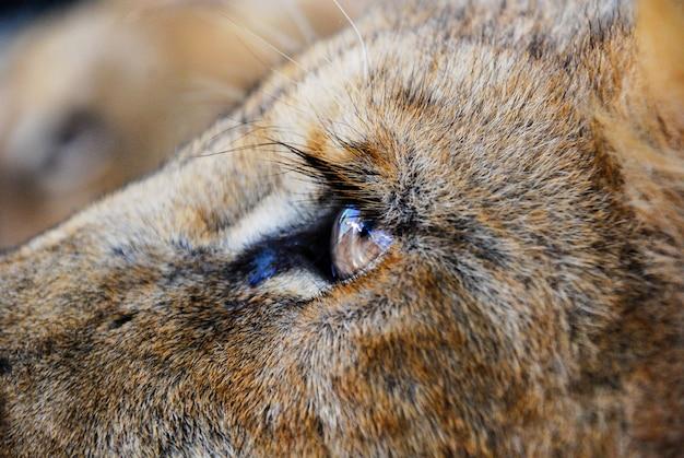 Un Oeil De Lion Photo Premium