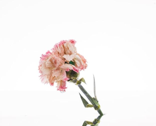 Oeillet rose sur fond blanc Photo gratuit