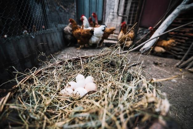 Oeufs blancs dans le nid avec des poules en arrière-plan Photo gratuit