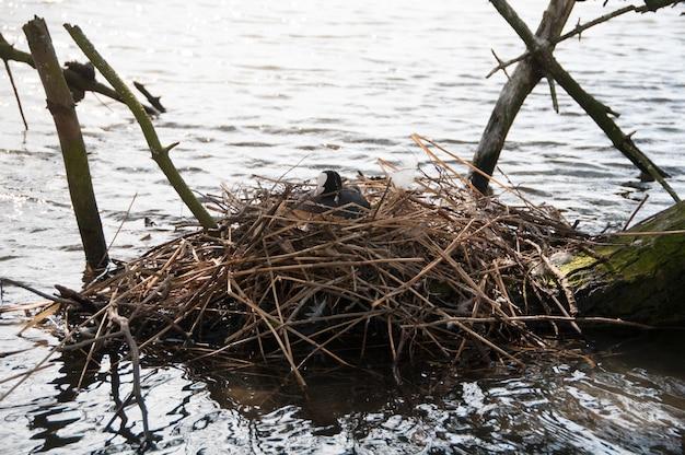 Oeufs oiseaux lac coot nid journal Photo Premium