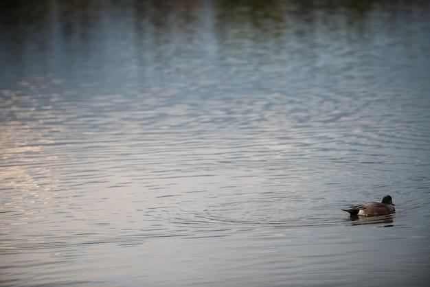 Oie Nageant Dans Le Lac Photo gratuit