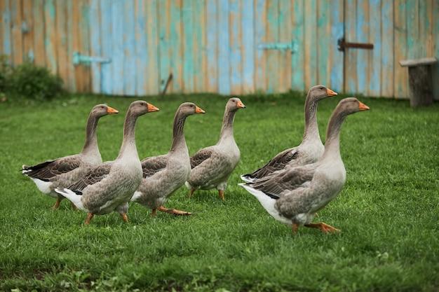 Les Oies Domestiques Paissent Photo Premium