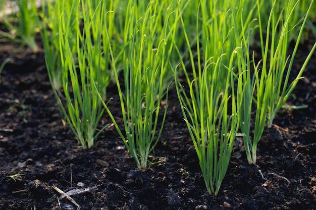 Oignon du jardin en croissance légume bio Photo Premium