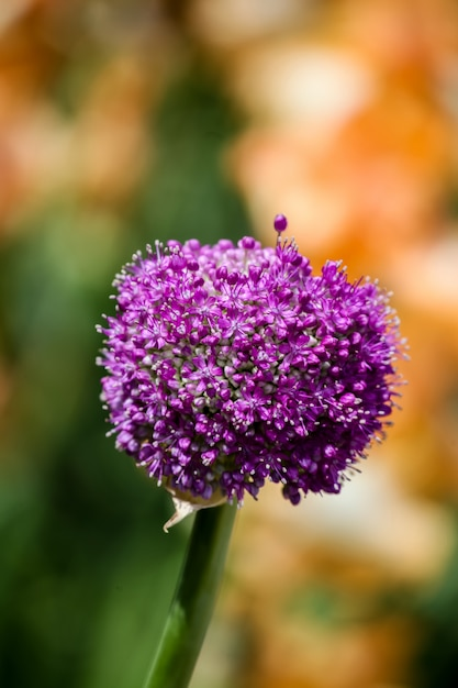 Oignon fleurissant géant Photo Premium