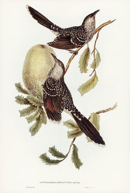 Oiseau brouette (anthochaera mellivora) illustré par elizabeth gould Photo gratuit