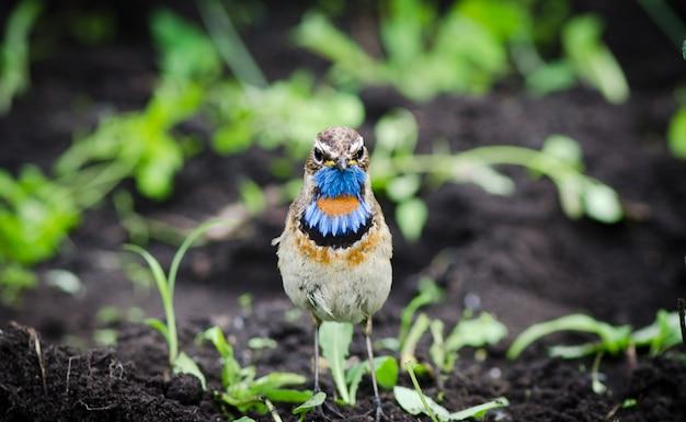 L'oiseau Est La Gorge Bleue Est Assis Sur Le Sol Et Regarde à Droite Photo Premium
