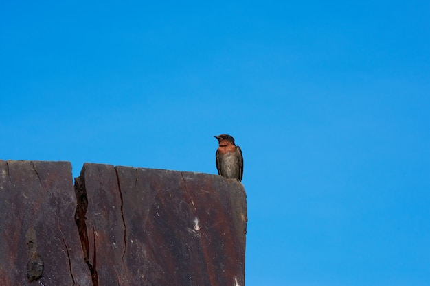 Un oiseau d'hirondelle sur un ciel bleu. Photo Premium
