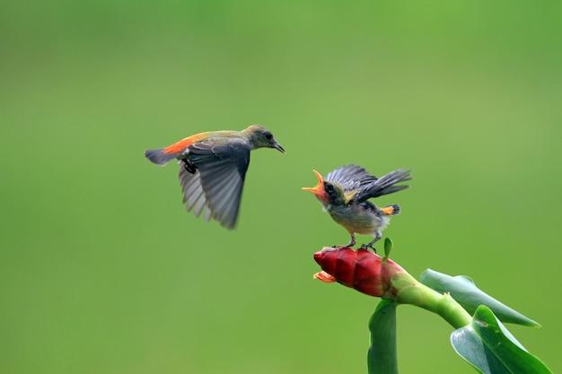 L'oiseau Kemande (dicaeum Trochileum) Nourrit Ses Petits Photo Premium