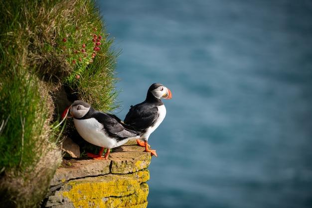 Oiseau De Mer Macareux Sauvage De L'atlantique Dans La Famille Des Pingouins. Photo Premium