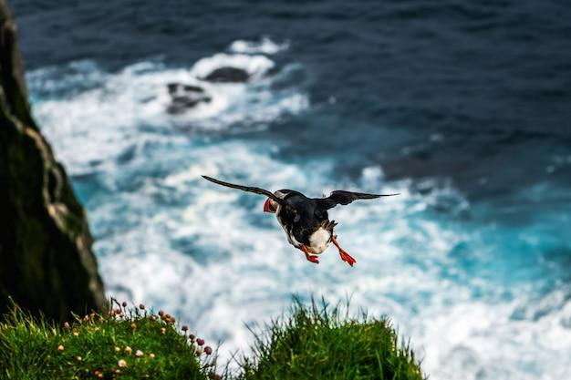 Oiseau De Mer Macareux Sauvage Volant Photo Premium