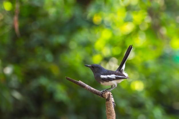 Oiseau (pie rouge-gorge ou copsychus saularis) femelle couleur noir et blanc Photo Premium