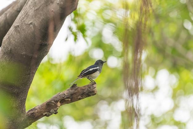Oiseau (pie rouge-gorge ou copsychus saularis) femelle couleur noir, gris et blanc Photo Premium