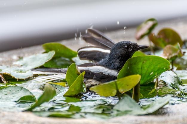 Oiseau (pie rouge-gorge ou copsychus saularis) mâle couleur noir et blanc Photo Premium