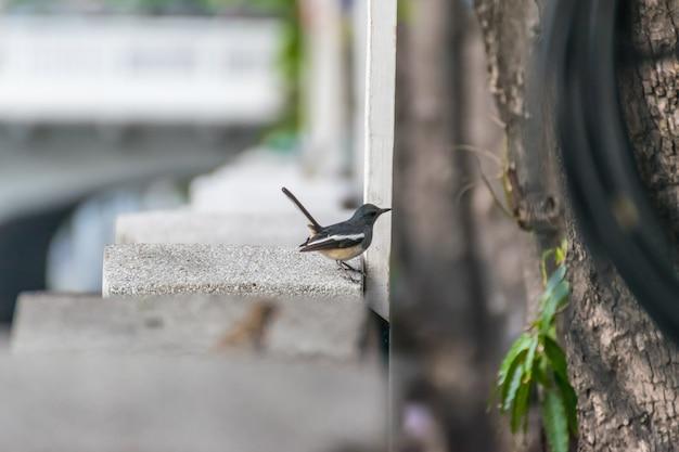 Oiseau (pie-rouge orientale ou copsychus saularis) Photo Premium