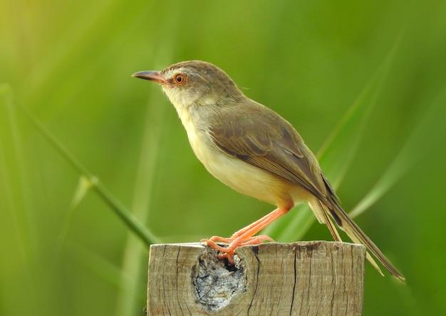 Oiseau Rubythroat Sibérien Debout Sur Une Souche Photo Premium