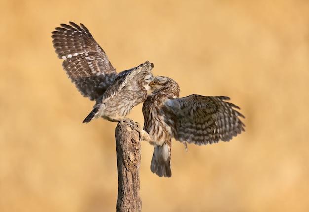 Les Oiseaux Adultes Et Petits Poussins Hibou (athene Noctua) Sont Photographiés à Bout Portant Sur Un Arrière-plan Flou. Photo Premium